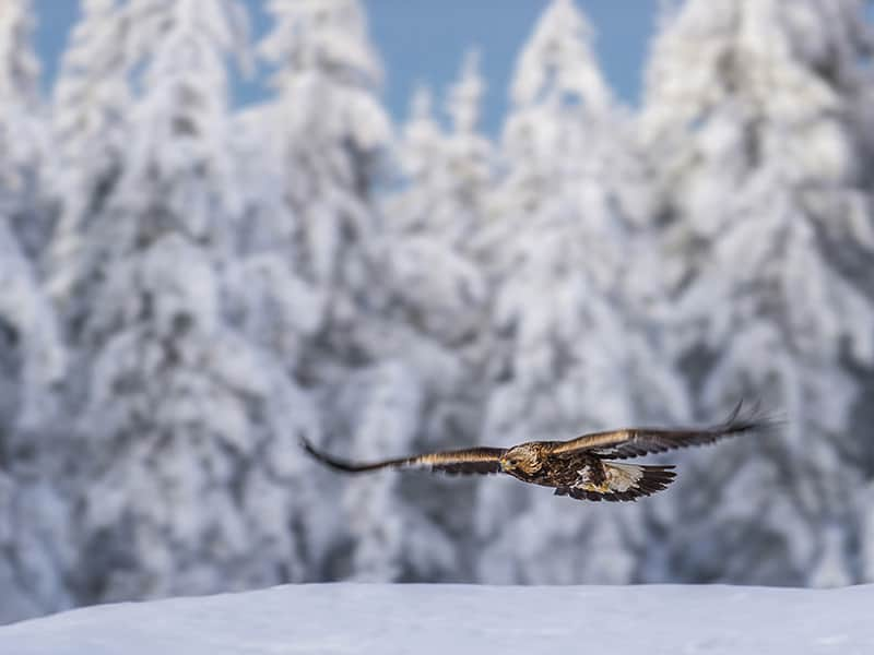 Birds of Prey - Finland