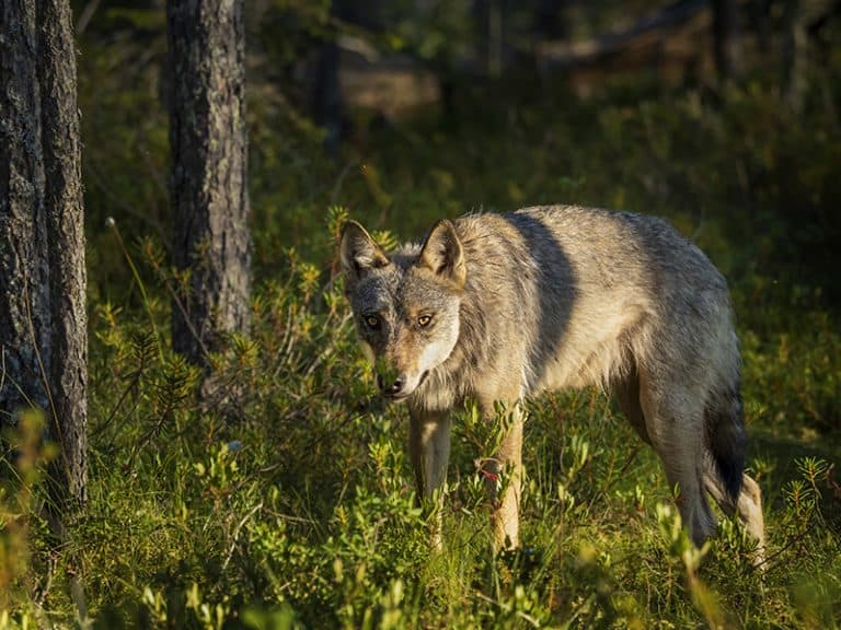 wolf watching in Finland